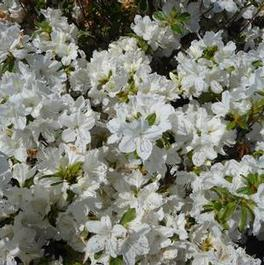 Azalea Delaware Valley White