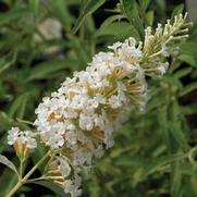 Buddleia White Profusion