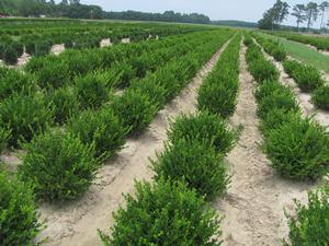 Buxus micro. v . japonica Winter Gem