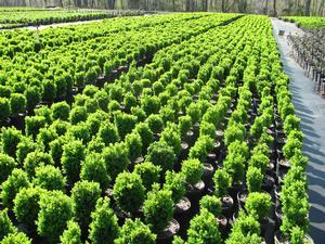 Buxus sempervirens Suffruticosa (English)