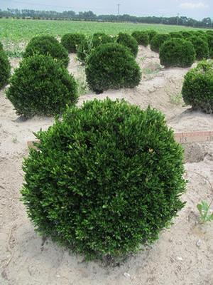 Buxus sinica v. insularis Justin Browers