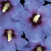 Hibiscus syriacus PP12680 / Proven Winners® 'Color Choice® Blue Satin®'