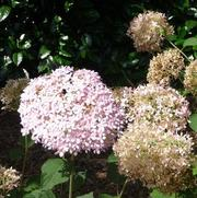 Hydrangea arborescens PP20765 / Proven Winners® 'Color Choice® Invincibelle® Spirit'