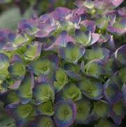 Hydrangea macrophylla Proven Winners® macrophylla 'Color Choice® Cityline® Rio'