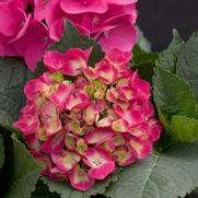 Hydrangea macrophylla PP10906 / Proven Winners® 'Color Choice® Cityline® Paris'