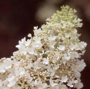 Hydrangea paniculata PP15395 / Proven Winners® 'Color Choice® 'little Lamb''