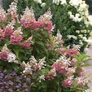 Hydrangea paniculata PP16166 / Proven Winners® 'Color Choice® Pinky Winky®'