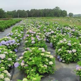Hydrangea macrophylla PP15298 / Endless Summer® 'The Original'