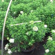 Hydrangea paniculata PP12874 / Proven Winners® 'Color Choice® 'Limelight''
