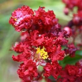 Lagerstroemia Siren Red