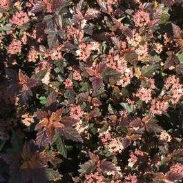 Physocarpus opulifolius PP22634 / First Editions® 'Little Devil™'