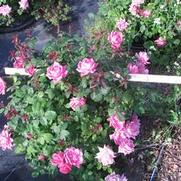 Rosa 'Radtkopink' PP18507 / Knock Out® Pink Double