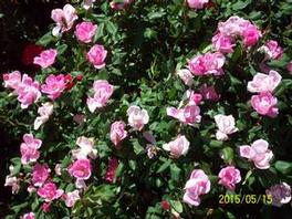 Rosa 'Radcon' PP15070 / Knock Out® Pink