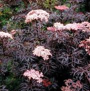 Sambucus nigra PP15575 / Proven Winners® 'Color Choice® Black Lace®'