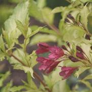 Weigela florida PP20025 / Proven Winners® 'Color Choice® Ghost®'