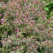 Weigela florida PP10772 / Proven Winners® 'Color Choice® Wine & Roses®'