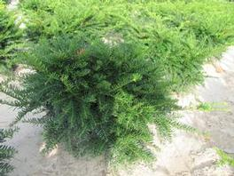 Taxus Green Wave