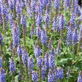 Salvia Blue Hill