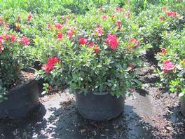 Azalea PP21562 / Proven Winners® Color Choice® 'Bloom-A-Thon® Red'