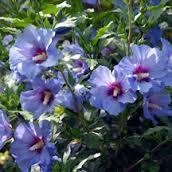 Hibiscus syriacus PP20574 / Proven Winners® 'Color Choice® Blue Chiffon®'