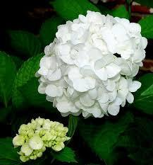 Hydrangea M. Double Delights Peace