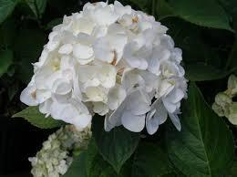 Hydrangea M. Next Generation Snow Storm