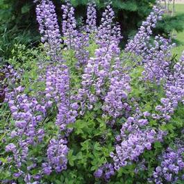 Baptisia Purple Smoke