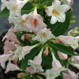Weigela florida PP24585 / Proven Winners® 'Color Choice® Sonic Boom® Pearl'