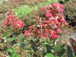 LAGERSTROEMIA Cherry Dazzle red
