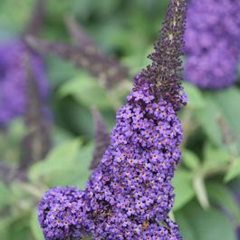Buddleia Pugster® 'Blue®'